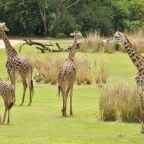 Wild Africa Trek – a must-do at Animal Kingdom!